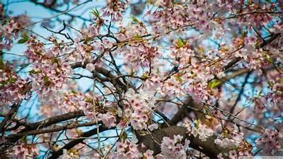 Blossom Cherry Seoul Wallpapers 4k Desktop Ultra