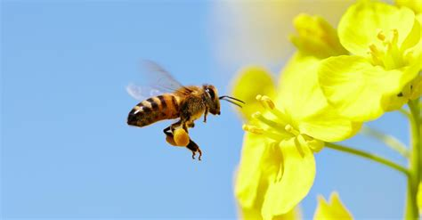 Images Of Bees Why We Need Bees Playlist Ted