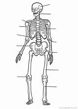 Coloring Human Pages Anatomy Printable Skeletal System Worksheet Skeleton Cool Than Sketchite Biology sketch template