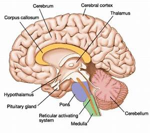 Cerebral Cortex In Human Brain