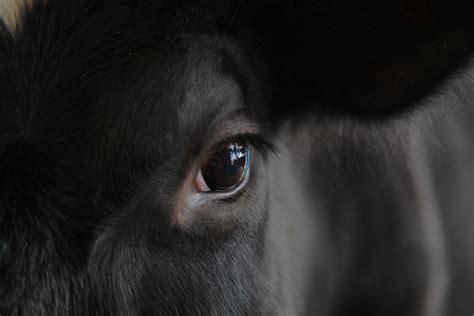 cows eye dairy farm nagaland india kohima rusoma