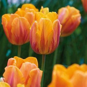 van zyverden tulips bulbs princess irene set