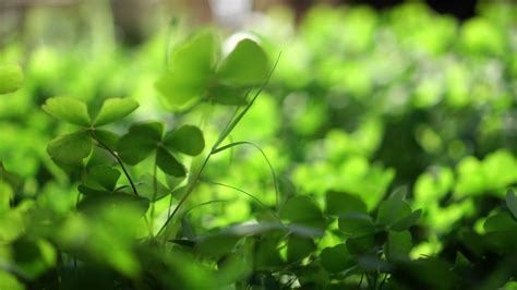 green clover field green lucky background Stock Video ...
