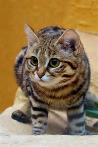 black footed cat black footed cat kitty cat s