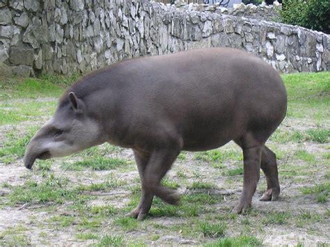 tapir pictures kids search