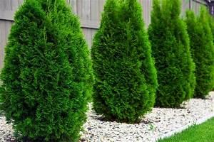 Baum Vorgarten Immergrün : s ulen lebensbaum columna thuja occidentalis columna ~ Michelbontemps.com Haus und Dekorationen