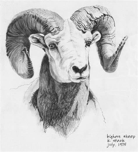 bighorn ram google suche animals pinterest sheep