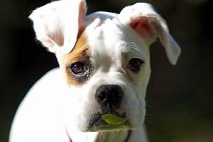 White Boxer Dog Face | www.pixshark.com - Images Galleries ...