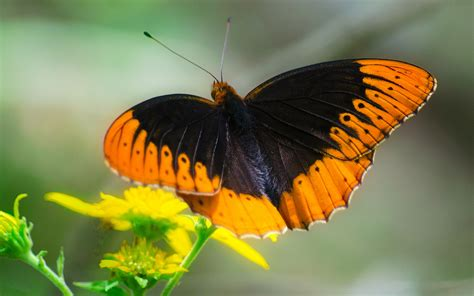 diana fritillary butterfly identification facts pictures