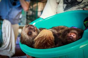 Bucket of Baby Sloths (Toucan Rescue Ranch Costa Rica) [OC ...