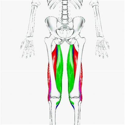 Muscles Leg Curls Hamstring Hamstrings Quadriceps Single