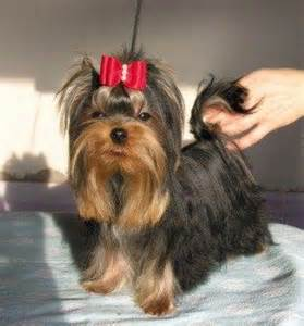 Parti Yorkie Puppies for Sale