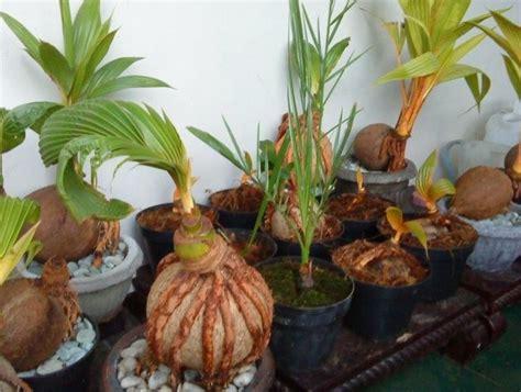 membuat bonsai kelapa bercabang bibitbungacom