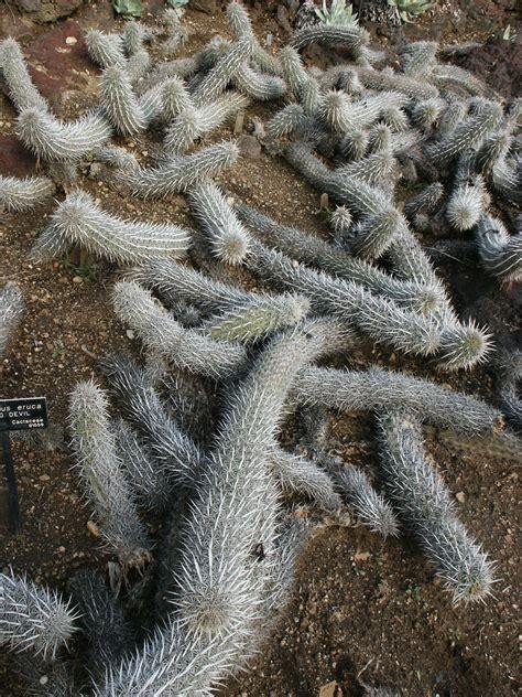 stenocereus eruca wikipedia
