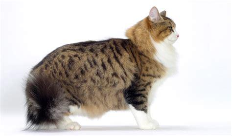 Siberian Cat Breed Information