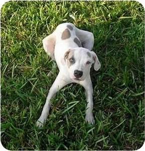 Luna   Adopted Puppy   Palm Bay, FL   American Bulldog ...
