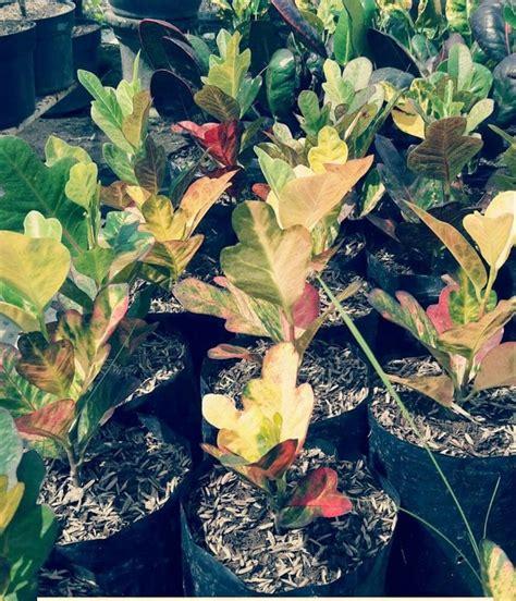 jual bibit bunga unggulan bibit puring liliput tanaman