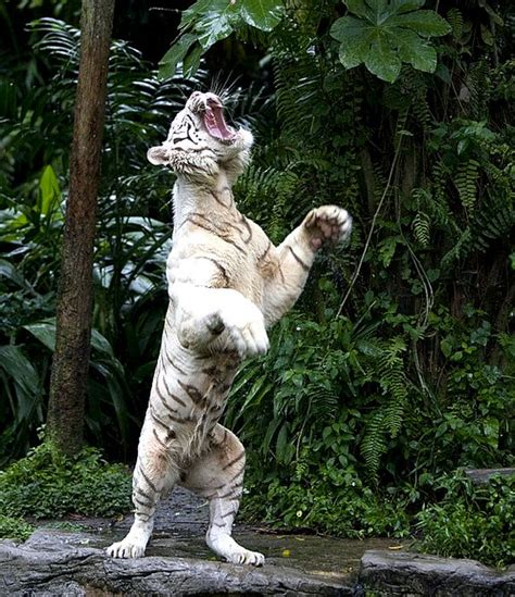 White Tiger Hind Legs There Well Known Mutation