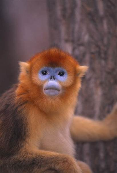 Monkey Nosed Snub Golden Noses Animals Strange