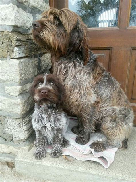 wirehaired pointing griffon shedding 1000 ideas about wirehaired pointing griffon on