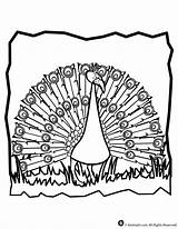 Peacock Coloring Pages Peacocks Colouring Activities Library Clipart Popular sketch template