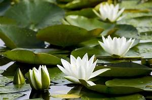 Wallpaper   Water Lilies  White  Pond  Leaves 2048x1340