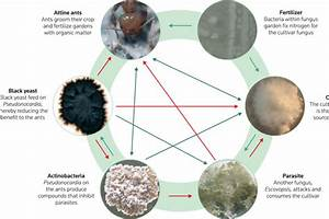 A Schematic Diagram Of The Fungus