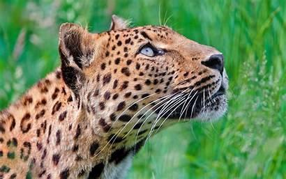 Leopard Looking Breed Neck Leopards Wallpapers Desktop