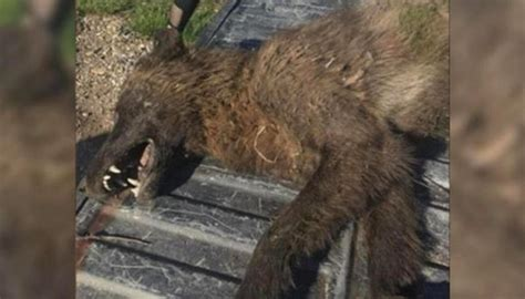 strange wolf  creature shot  killed  montana