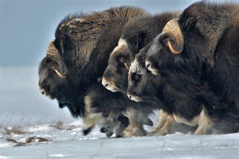 In the Arctic More Rain May Mean Fewer Musk Oxen Musk