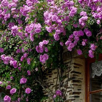 Climbing Roses For Partial Shade  Climbing Angel Face