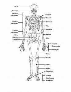 Human Skeleton Quiz Anatomy – craftbrewswag.info