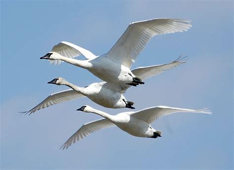 file cygnus buccinator riverlands migratory bird