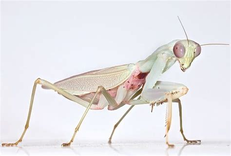 praying mantis colors praying mantis color insects critters