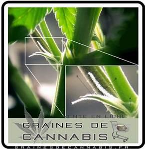 Comment Reconnaitre Un Hibiscus D Intérieur Ou D Extérieur : comment reconna tre cannabis ~ Dallasstarsshop.com Idées de Décoration
