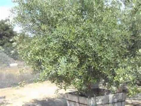 olive wilsonii olive wilsonii fruitless multi 48box 2mov