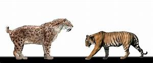 Who would win in a battle between a fully grown tiger ...