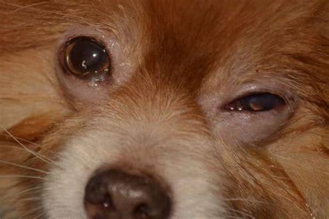maladies des yeux du chien