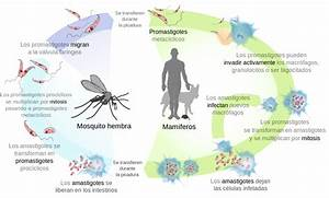 File Leishmaniasis Life Cycle Diagram-es Svg