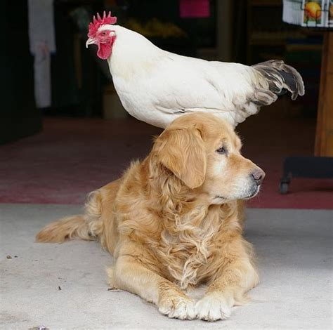 prove chickens  dogs   friends