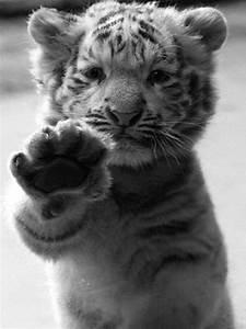 animals cute Black and White tiger cruello •