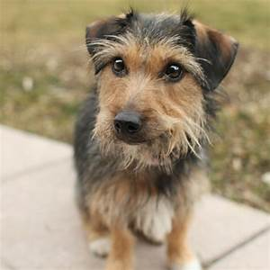 Pudding - Australian Terrier mix