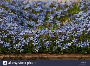 Bodendecker Blaue Blüten : blaue sterne schlingpflanze isotoma fluviatilis blume sommer matte bilden bodendecker ~ Frokenaadalensverden.com Haus und Dekorationen