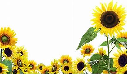 Sunflowers Flowers Transparent Resolution Sunflower Wallpapers Sonnenblumen
