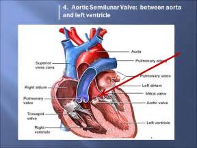 Aortic Valves Left and Right
