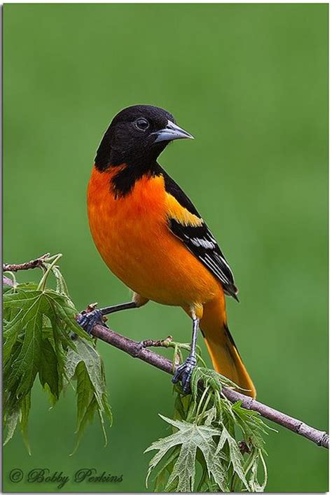 picture of a oriole bird 25 best ideas about baltimore orioles birds on oriole bird oriole bird feeders and