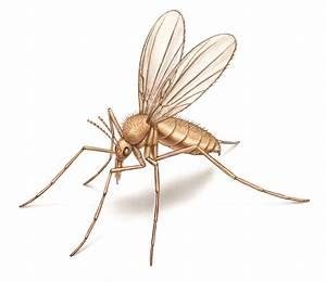 What Are Sand Flies  Appearance  Behavior  Bites  U0026 More