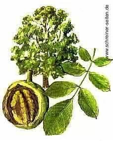 Linde Baum Steckbrief : nussbaum nb ~ Orissabook.com Haus und Dekorationen