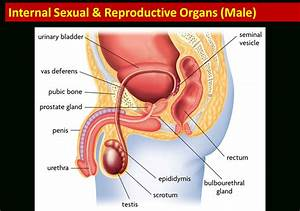 Male Reproduction Part Reproductive Part Of Male And ...