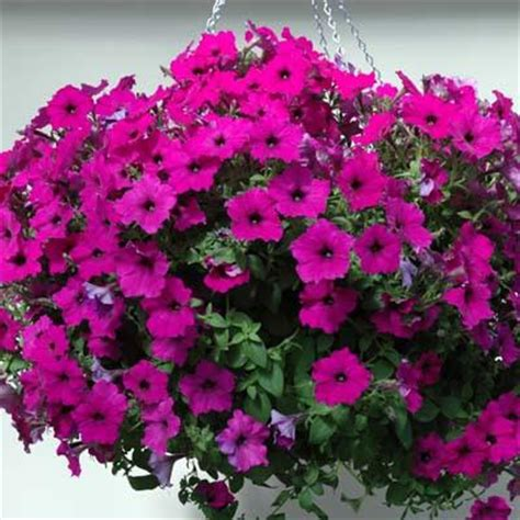 easy wave petunias petunia seeds buy quality petunia seed online harris seeds